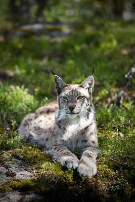 Photograph - Lynx by Yngve Alexandersson