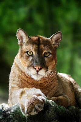 Cougar Digital Art - Mac by Big Cat Rescue