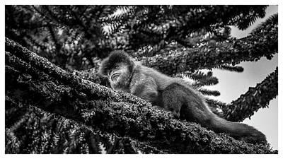 Photograph - Macaco Prego - Alpha - Campos Do Jordao - Sp by Carlos Mac