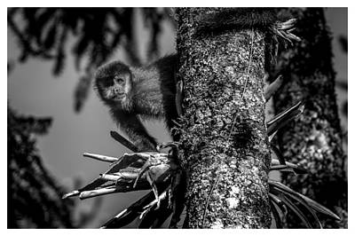 Photograph - Macaco Prego - Campos Do Jordao - Sp by Carlos Mac