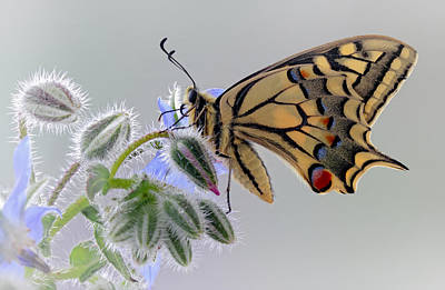 Swallowtail Photograph - Macaon by Jimmy Hoffman