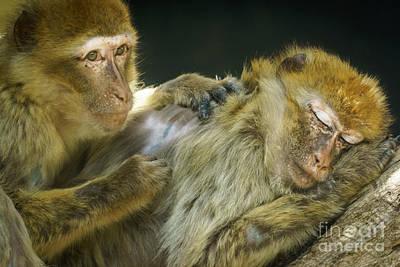 Photograph - Macaques Jerez De La Frontera Spain by Pablo Avanzini