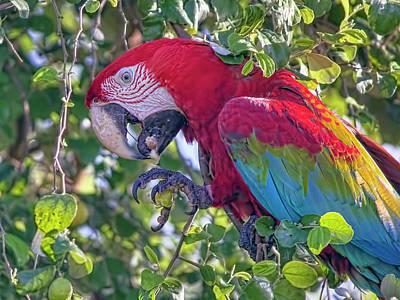 Photograph - Macaw 3 by Nadia Sanowar