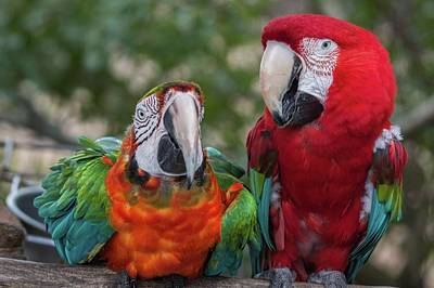 Comedian Drawings - Macaw Couple by Patrick Burke