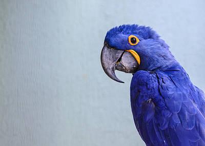 Macaw Art Print by Daniel Precht