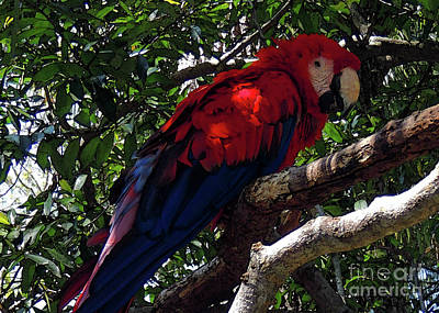 Photograph - Macaw Enjoying The Shade  by Lydia Holly