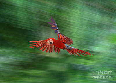 Photograph - Macaw Flying by Warren Photographic