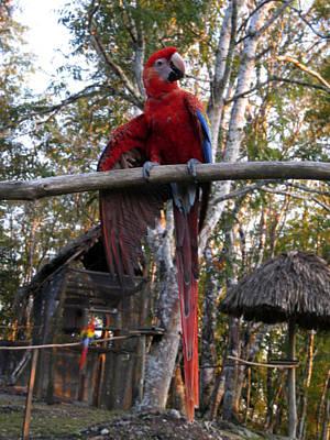 Photograph - Macaw Guatemala by Kurt Van Wagner