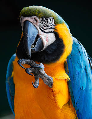 Photograph - Macaw by Harry Spitz