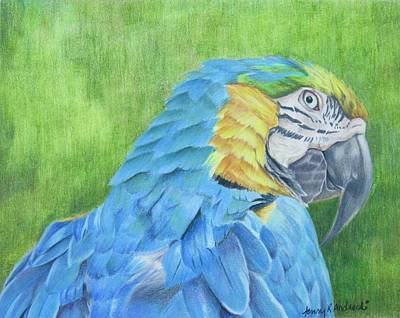 Macaw Drawing - Macaw by Jenny Andreoli