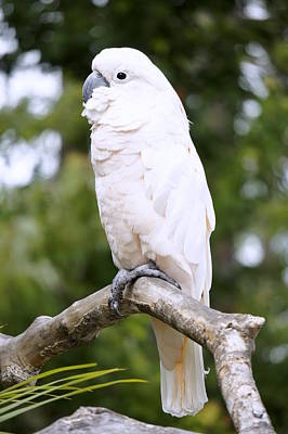 Photograph - Cockatoo by Laurie Perry