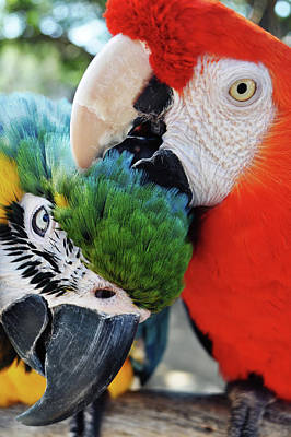 Photograph - Macaw Lovers by Kyle Hanson
