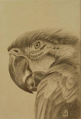 Drawing - Macaw by Lynn Hughes