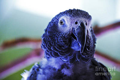 Photograph - Macaw Parrot Blue Looking At You by David Frederick
