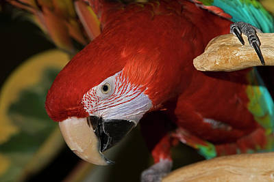 Photograph - Macaw Parrot by JT Lewis