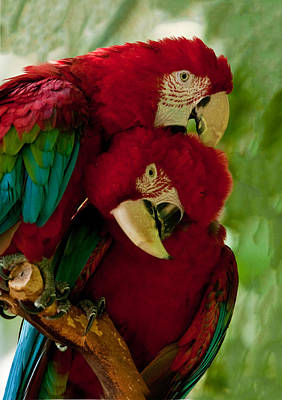 Photograph - Macaw Parrots Preening by William Bitman