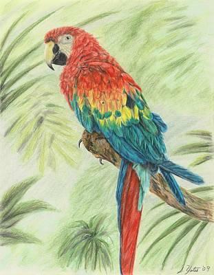 Macaw Drawing - Macaw by Stephanie Yates