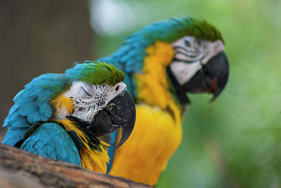 Photograph - Macaws by Amy Warr