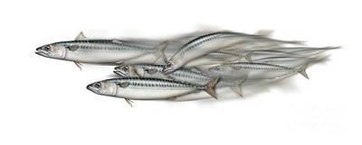 Christmas Christopher And Amanda Elwell - Mackerel school of fish - Scomber - Nautical Art - Seafood Art - Marine Art -Game Fish by Urft Valley Art \ Matt J G  Maassen-Pohlen