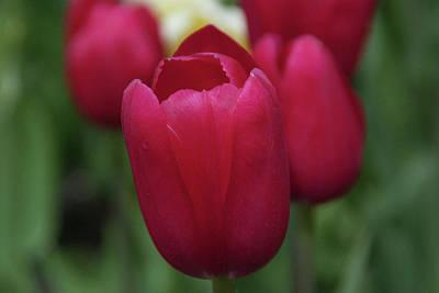 Photograph - Macknac Island Tulips 10393 by Guy Whiteley