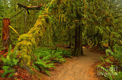 Photograph - Macmillan Cathedral Grove by Adam Jewell