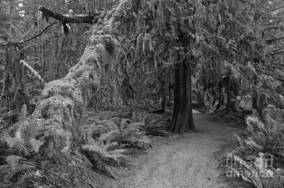 Photograph - Macmillan Cathedral Grove Black And White by Adam Jewell