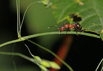Bugs Photograph - Macro Ant by Jan Boesen