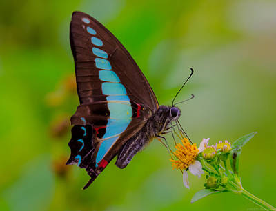 Photograph - Macro Blue Triangle Butterfly On Okuma by Jeff at JSJ Photography