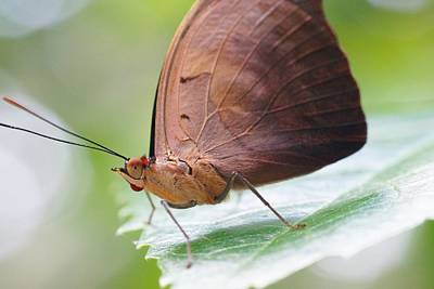 Photograph - Macro Brown Butterfly by Mike Murdock