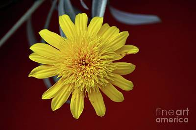 Latidude Image - Macro close up of yellow flower in full blossom by Imran Ahmed
