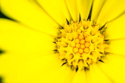 Photograph - Yellow Flower Stamen by John Williams