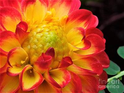 Photograph - Macro Dahlia by Chad and Stacey Hall