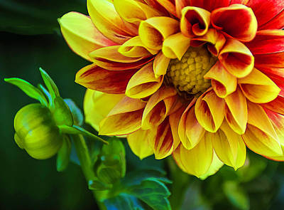 Photograph - Macro Dahlia by Julie Palencia