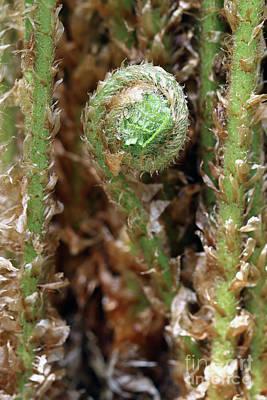 Macro Fern Sprout Art Print