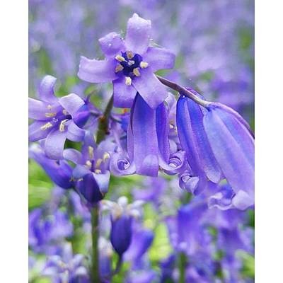 Photograph - #macro #flower #flowers #bluebell by Natalie Anne