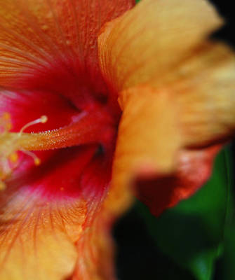 Macro Hibiscus Art Print by Jean Booth