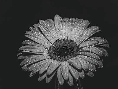 Photograph - Macro Image Of Gerbera Flower. Selective Focus. Black And White  by Julian Popov