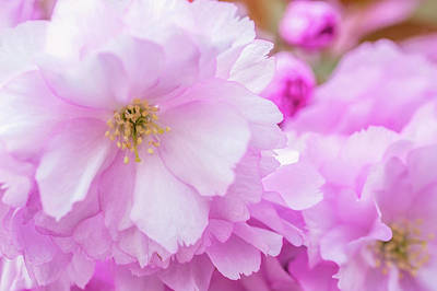 Photograph - Macro Kwanzan Cherry Flowers by Jenny Rainbow