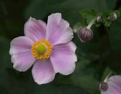 Photograph - Macro Lavender Blossom by Arlene Carmel