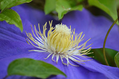 Photograph - Macro Of Blue Clematis - Stamens And Stigma by rd Erickson