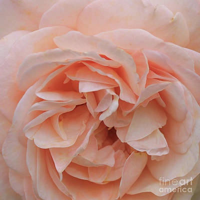 Macro Flower Photograph - Macro Photo Of Soft Pink Rose Petals by Pixelshoot Photography