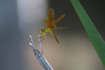 Photograph - Macro Photograph Of Amberwing Dragonfly by Colleen Cornelius