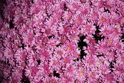 Vintage Chevrolet - Macro Pink Mums by Greg Boutz