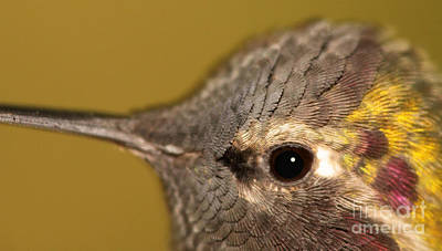 Photograph - Macro Portrait Of Costa's Hummingbird by Max Allen