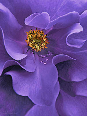 Photograph - Macro Purple Rose Flower by Jennie Marie Schell