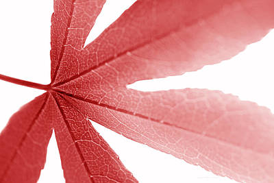 Photograph - Macro Red Japanese Maple Leaf by Jennie Marie Schell
