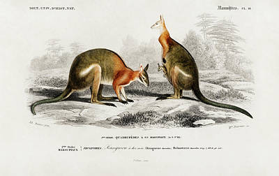 Painting - Macropus Illustrated By Charles Dessalines by Charles Dessalines D' Orbigny