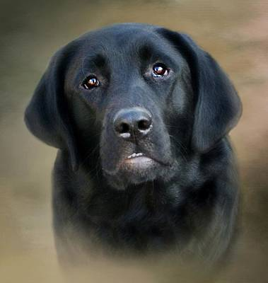 Photograph - Macy-portrait Of A Black Lab by Stephanie Calhoun