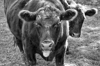 Photograph - Mad Cow  by Joseph Caban