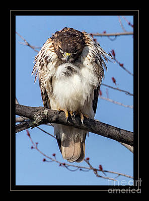 Photograph - Mad Hawk by Darleen Stry
